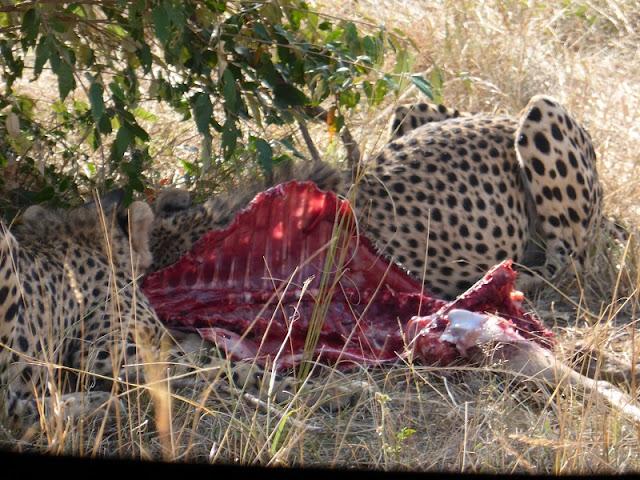 Guepardos comiendo en Masai Mara
