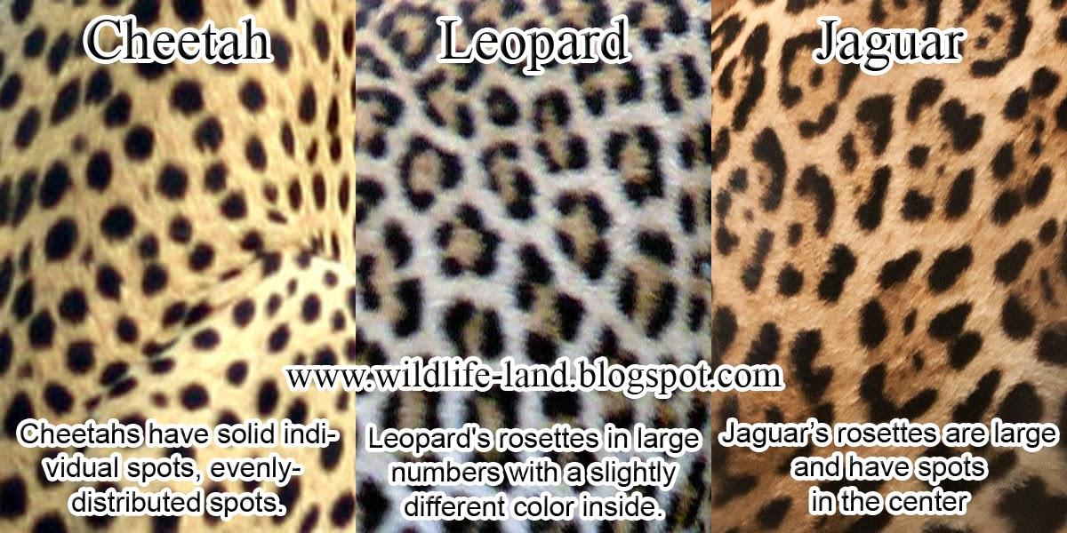 leopard and jaguar comparison - photo #2