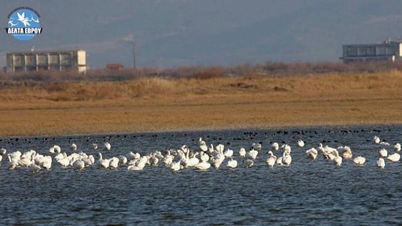 Νέες εντυπωσιακές καταγραφές υδρόβιων πουλιών στο Δέλτα Έβρου