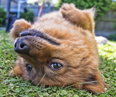 Toplotni udar kod psa