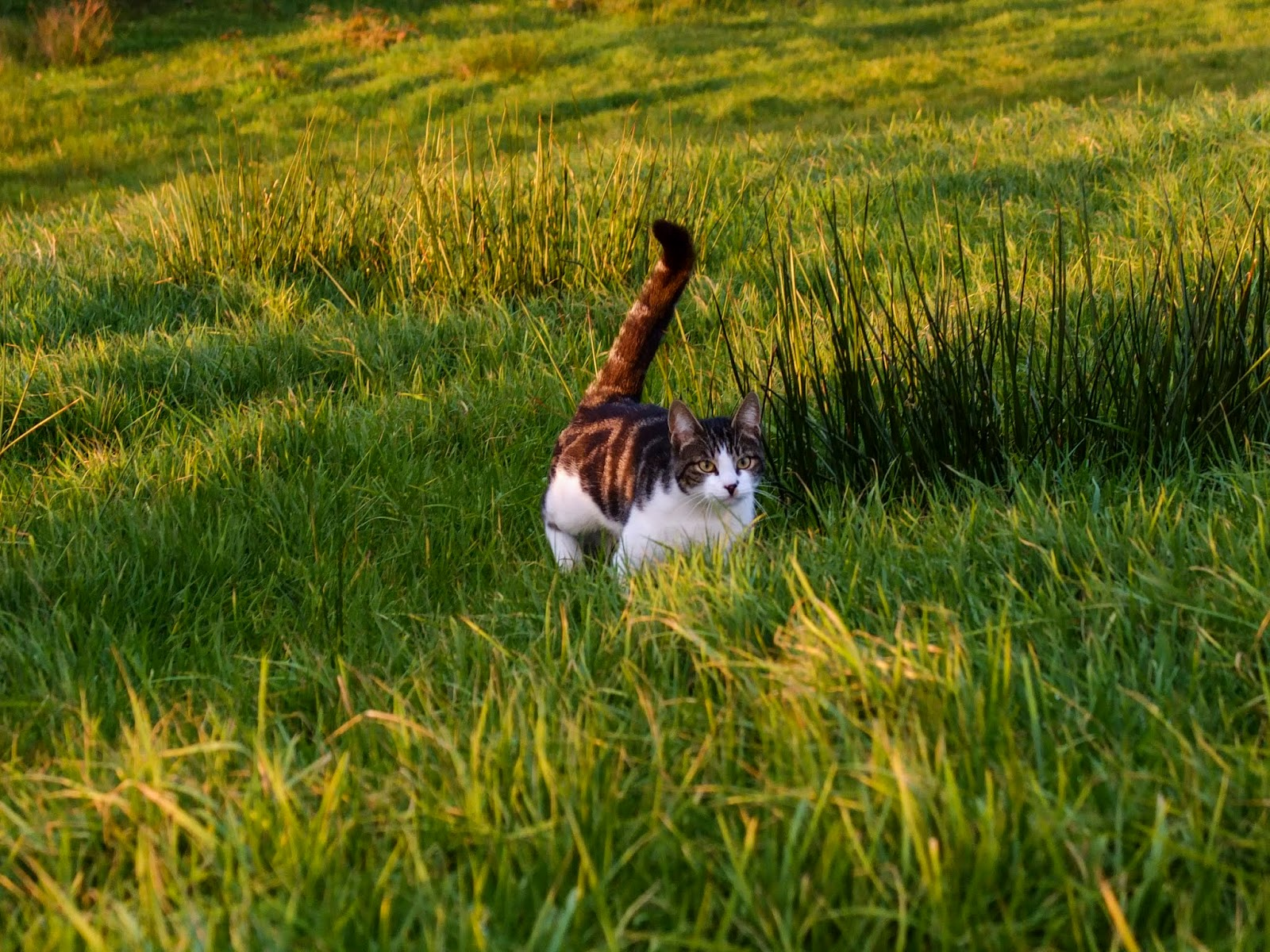 A white and brindle cat running through the grass with her tail up.