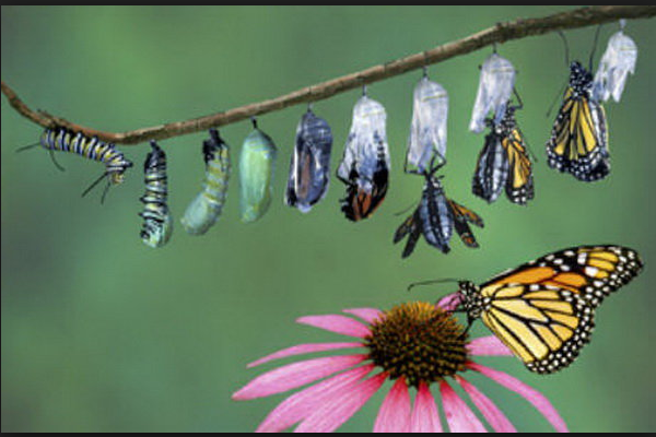 Kepompong dan Kupu-kupu