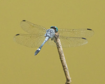 Spot-tailed Dasher (Micrathyria aequalis)