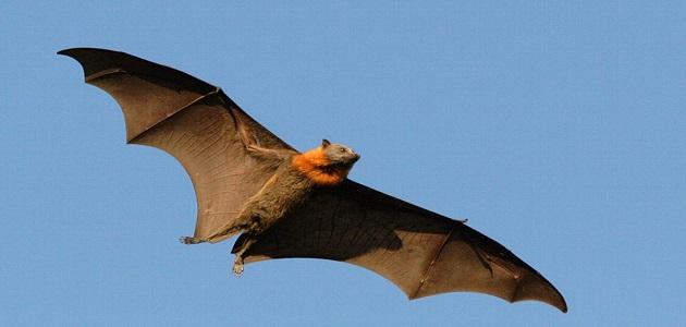 الثعلب الطائر العملاق أكبر خفاش مرعب في العالم