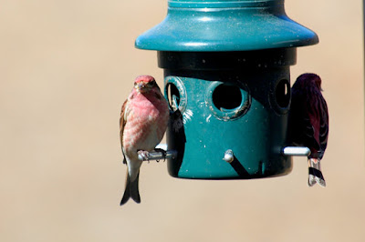 purple finches, forked tails