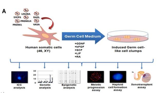 Reprograman células somáticas para convertirlas en espermatozoides ...