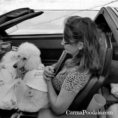 Poodle in a Vette -CarmaPoodale.com