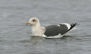 Slaty-backed Gull in Newfoundland