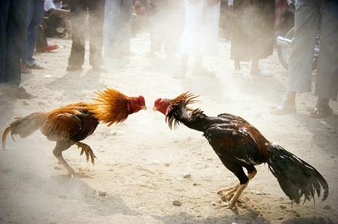 Cách chọn gà chiến