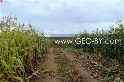 Глиняная дорога в кукурузном поле между Веребушками и Чухнами