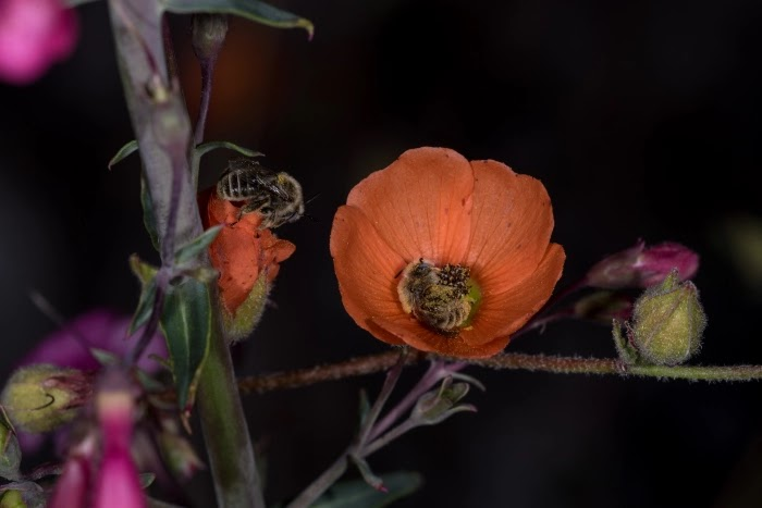 Adorable Pictures Of Bees That Sleep In Flowers