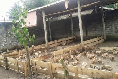 Perawatan Kandang Bebek Penting Dilakukan Dalam Peluang Usaha Ternak Bebek