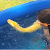 Nothing To See Here, Just A Giant Python Swimming With A Small Child
