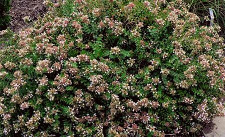 abelia planta
