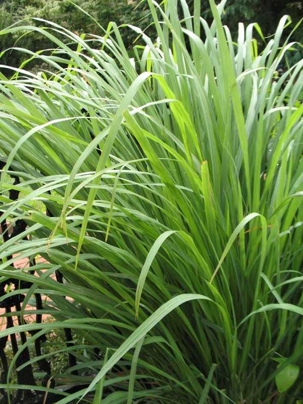 Animales y plantas de per hierba luisa cymbopogon citratus for Salsa de hierba luisa
