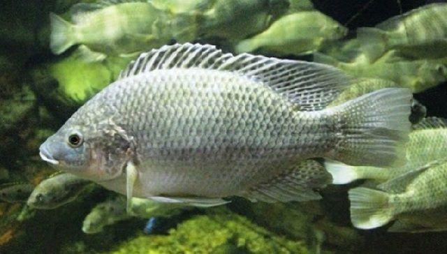 Pembenihan Ikan Nila