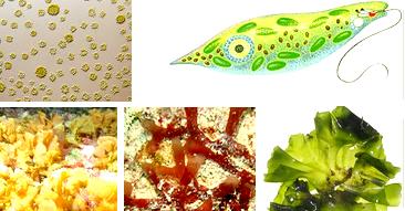 Pengertian Protista, Ciri-Ciri, dan Jenis-Jenisnya (Gambar Alga atau Ganggang/ Protista Mirip Tumbuhan)