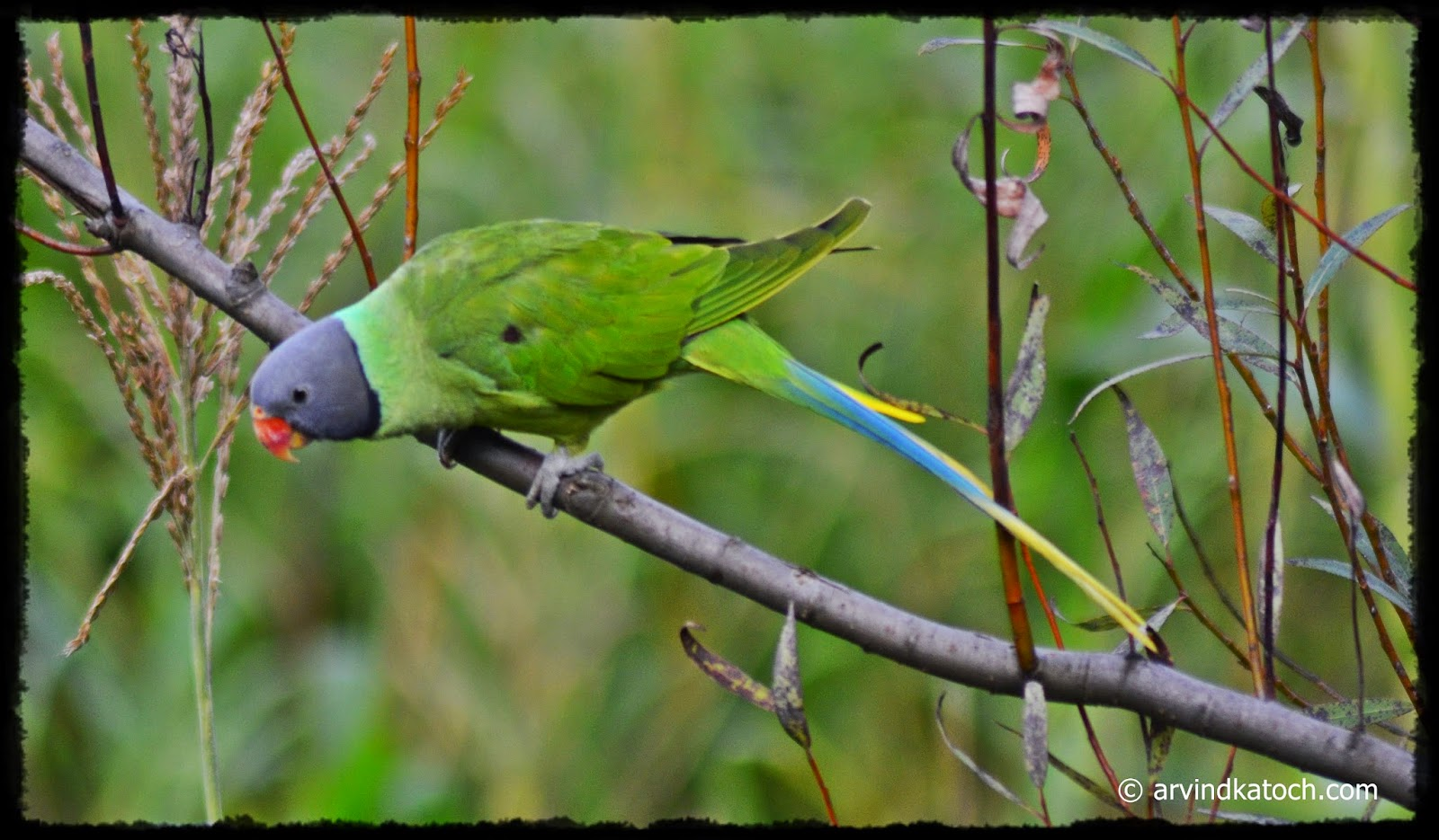 Slaty-headed Parakeet, Himalayan Parrot