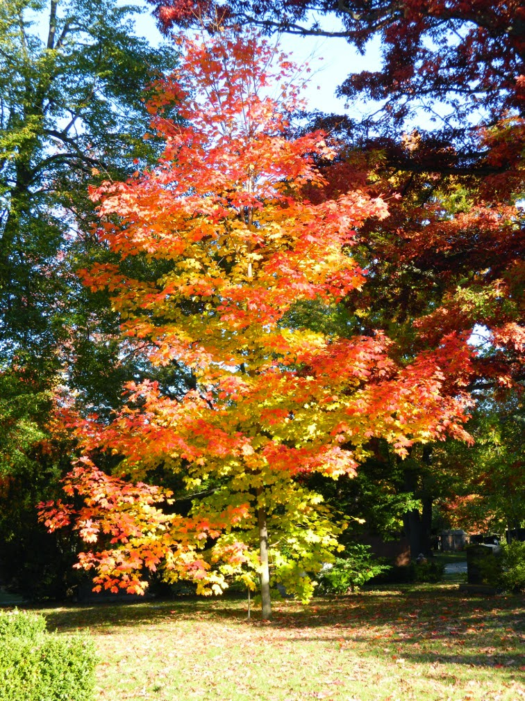 Sugar maple Mount Pleasant Cemetery autumn foliage by garden muses-not another Toronto gardening blog