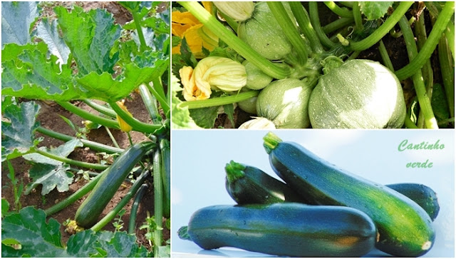 Cultivo de courgettes, a abobrinha Italiana