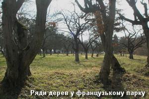 Дерева французького парку в Підгірцях
