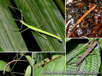 Leaf & Stick Insects (Order Phasmatodea)