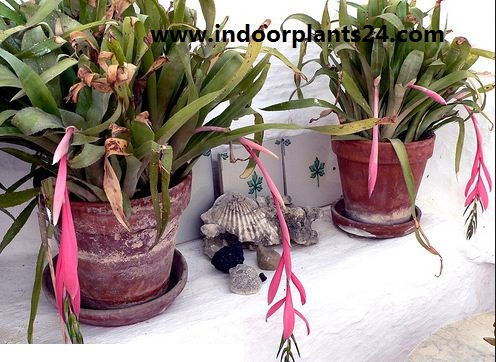 Billbergia Nutans indoor house plant image