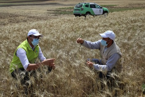 The-direct-grain-implantation-technique-yields-high-yield-on-Safi-farmers