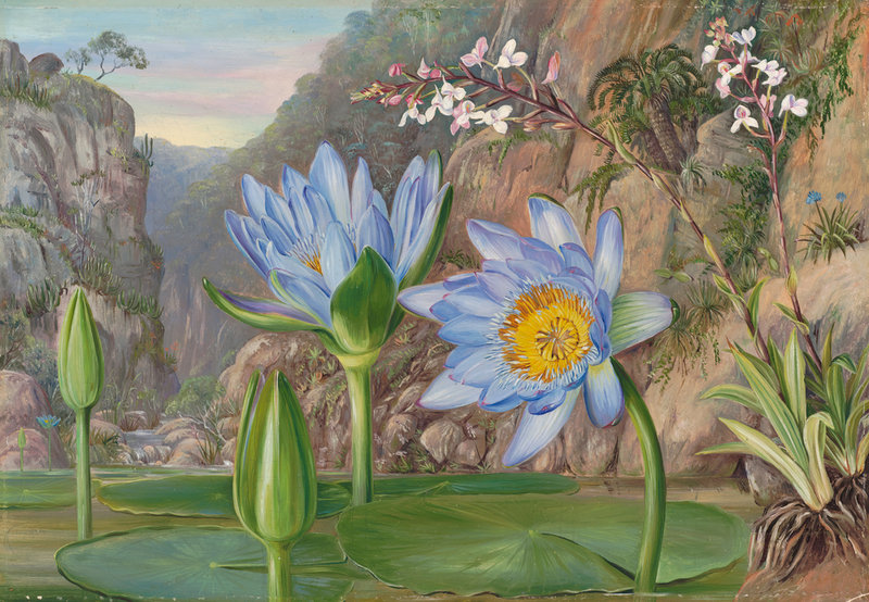 Marianne North - Water-Lily and surrounding vegetation in Van Staaden's Kloof.