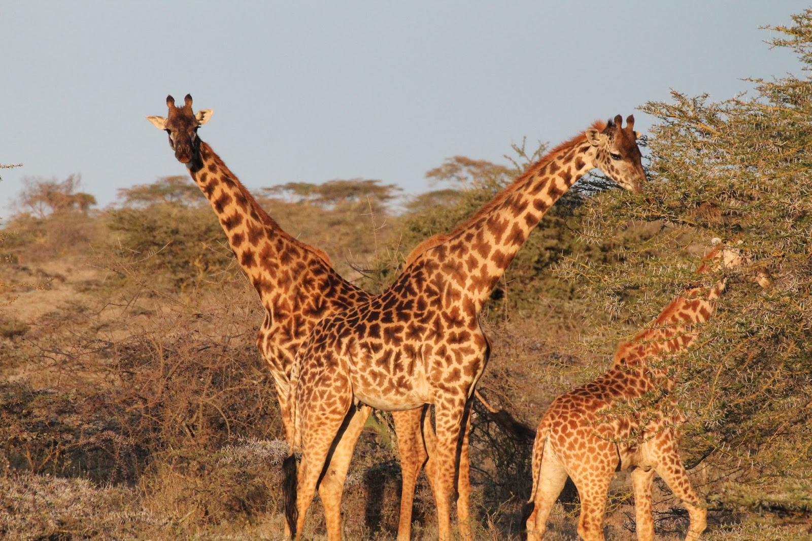 Tall giraffes eating leaves from acacia trees.