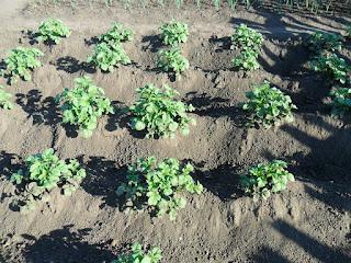 При окучивании картофеля огребаю кусты высоко