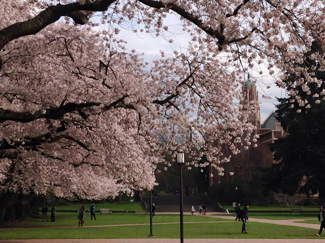 【西雅圖。生活】滿地整個校園的的櫻花樹及四月限定的鬱金香園 3