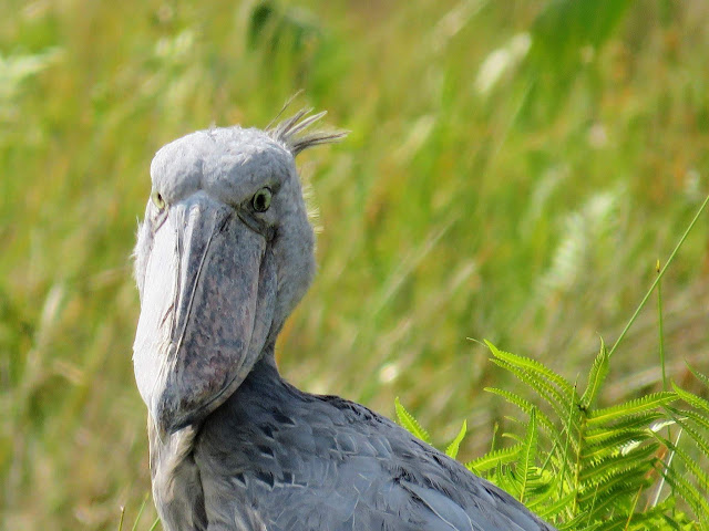 Shoebill in Uganda's Mabamba Swamp