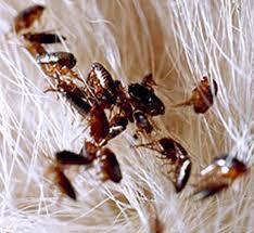 mejor manera de eliminar las pulgas