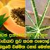 Diabetes curative medicine papaya leaves Surprise secrets here