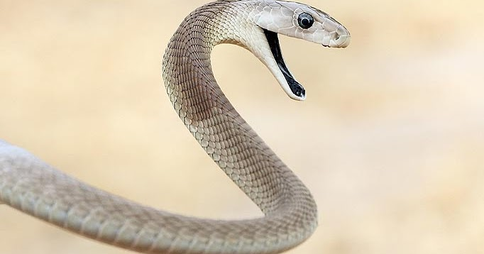 Amazing Black Mamba Snake - Black mamba Facts, Photos, Information, Habitats, News