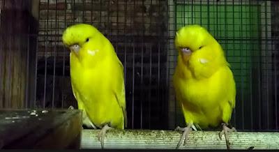2 Ciri Ciri Akurat Burung Parkit Holland Yang Di Lihat Dari Segi Fisik