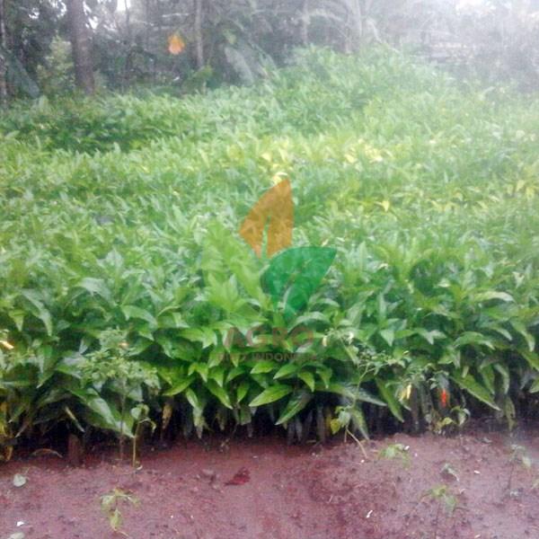 Jual Tanaman Mengkudu/Pace Harga Murah