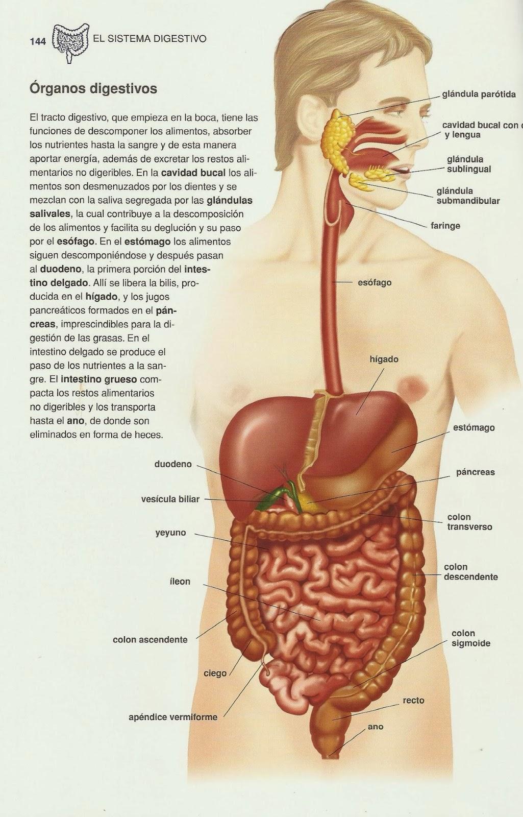 Lujoso Imagen De Los órganos De Cuerpo Completo Imagen - Imágenes de ...
