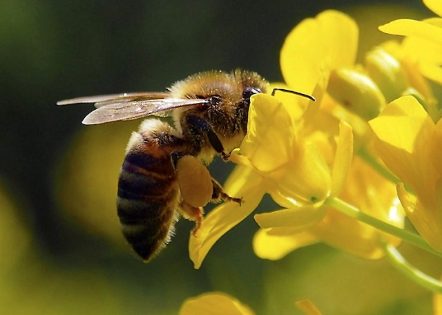 Bees' hair detects electrical fields from flowers
