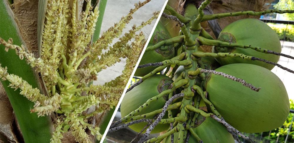 ดอกและผลของต้นมะพร้าว