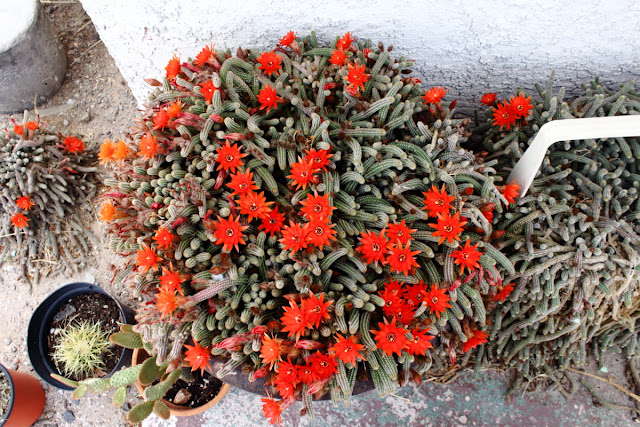A photo of an adult peanut cactus in full bloom