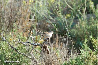Tallarol trencamates (Sylvia conspicillata)