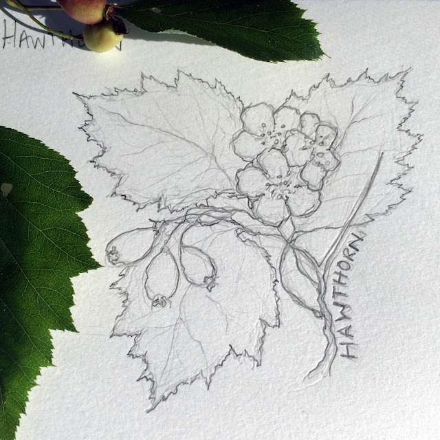 Sketch, Botanical Sketch, Hawthorn, Artist, Gardener, Lisa Estabrook, Artist Interview, My Giant Strawberry