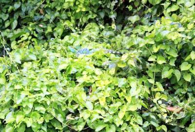 Basilísco en Tortuguero