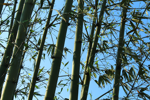 Bamboo trees in Sapa, Vietnam - travel blog