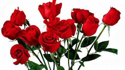 bunga mawar putih,bunga mawar merah untuk pacar,arti bunga mawar merah,manfaat bunga mawar merah,nama latin bunga mawar merah,bunga mawar merah satu tanda cinta,bunga mawar merah,