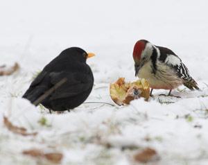 breuillet nature les oiseaux en hiver. Black Bedroom Furniture Sets. Home Design Ideas