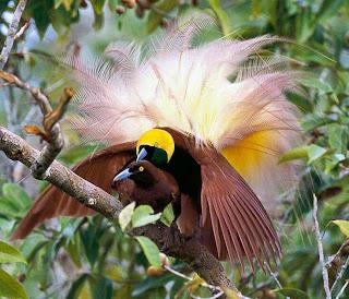 Suara burung cenderawasih kuning besar