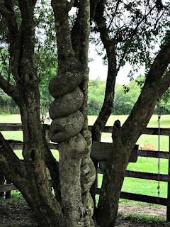 Árvore de Tronco Enosado - Cabanha Costa do Cerro